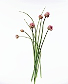 Chives with pink flowers