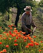 Mann mäht Mohnblumen in Piemont