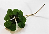 A four-leaf clover on a white background