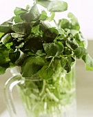Cress in a water jug