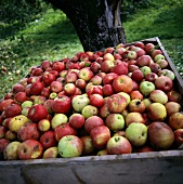 Freshly picked apples in a wooden crate in open air