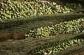 Olive harvest in Crete