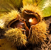 A sweet chestnut in open shell
