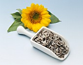 Sunflower seeds on  white scoop in front of a sunflower