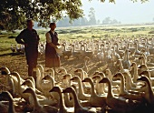 Goose breeding in Lower Saxony
