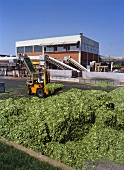 Fresh spinach being transported into frozen food factory