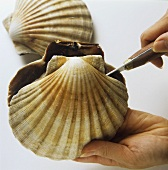 Opening a scallop