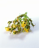 St. John's wort with flowers