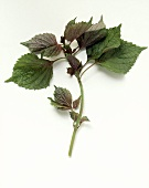 Shiso on white background