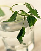 Nettle leaves in tumbler