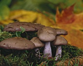 Blewits in a wood