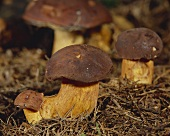 Bay boletes in forest