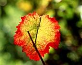 Vine leaf with autumn tints