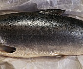 Salmon trout (middle part) on paper