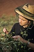 Wild figs in Australia