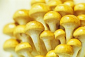 Many golden cultivated mushrooms