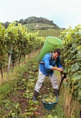 Grape picking in Stollberg vineyard, Handthal (Franconia)