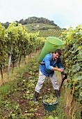 Grape picking in Stollberg vineyard, Handthal (Franconia)