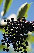 Elderberries on the branch