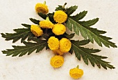 Tansy with flowers cut off (Tanacetum vulgare L.)