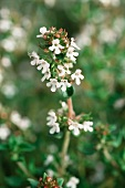 Thyme with flowers (thymus vulgaris)