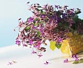 Fresh borage with flowers in basket