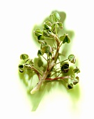 Oca (Sorrel, Oxalidaceae)