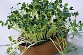 Daikon cress grown from radish seeds in flower pot