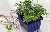 Daikon cress in plastic box; scissors