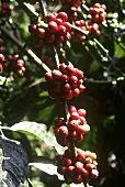 Coffee beans on the bush (India)