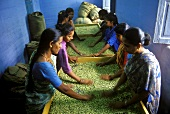 Indian women sorting cardamom