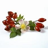 Hagebutten mit Blättern und einer Blüte