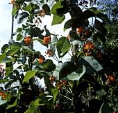 Flowering fire beans in garden