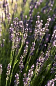 Flowering lavender with bee