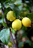 Lemons with drops of water on tree