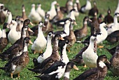 Challans ducks in meadow