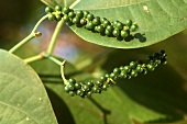 Green peppercorns on the plant