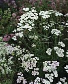 Yarrow with flowers (Achillea millefolium) in meadow