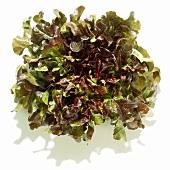 Ein Kopf Eichblattsalat