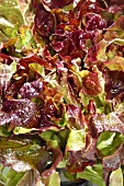 Oak leaf lettuce (close-up)