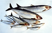 Fresh herrings, sardines and sprats