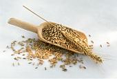 Grains of rye on scoop with ear of rye