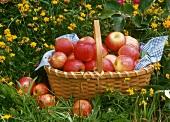 Fresh apples in basket on grass