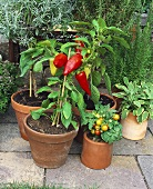 Pepper and tomato plants in pots