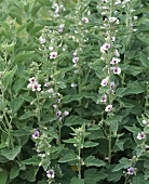 Marsh mallow (Althaea officinalis); flowering plant
