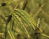 Barley ears in the field