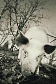 Truffle pig (France)