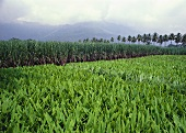 Turmeric plants in the field (India)