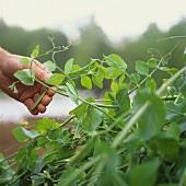 Hand picking mangetouts