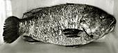 Westralian Dhufish (Glaucosoma hebraicum)